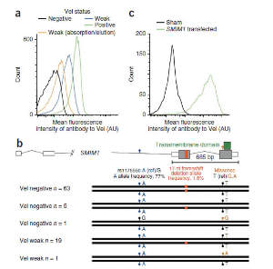 The SMIM1 gene encodes the Vel blood group antigen