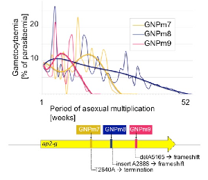 Continuous transmission by transfer of blood caused a malaria parasite of mice to lose its ability to make sexual forms, which are only required for transmission by mosquitoes. The genetic defects shared by three lines selected in this way led to the discovery of the ap2-g gene