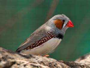 A male zebra finch, South Australia.
