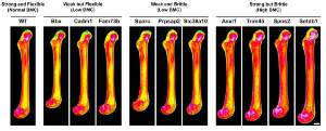 Digital radiographs of femurs from wildtype mice and each of the 10 knockout strains with major phenotypes.