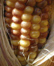 The effect of transposons in Maize. Botanist, Barbara McClintock, first observed the effect of DNA transposons when looking at the cellular structure of abnormally coloured kernels of maize.