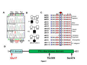 Identification of a de novo AKT2 mutation. (A) c.49G>A/p.Glu17Lys mutation in the AKT2 gene seen in either heterozygous or mosaic form. (B) Pedigrees of affected patients, showing de novo occurrence of the mutation in each case. (C) Phylogenetic conservation of Glu17 among AKT2 orthologues and paralogues. * denotes structurally important residues in the mutant protein. (D) Domain structure of AKT2, showing location of Glu17 in the pleckstrin homology domain as well as the location of the residues phosphorylated by PDK1 and mTORC2 as part of the activation process.