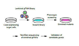 Generation of a mouse genome-wide guide RNA library. Schematic of genetic screening with genome-wide guide RNA libraries.