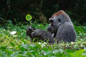 Silverback gorilla (Gorilla gorilla) foraging on herbs in a swampy clearing in northern Republic of Congo. Non-invasive studies of these elusive apes identified three new gorilla-specific Plasmodium species, one of which is nearly identical to human P. falciparum.