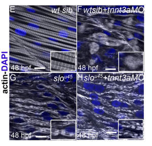Analysis in the sloth mutant: a 48 hpf wild-type sibling displays normally striated fast fibres (E). In a wildtype sibling injected with the tnnt3a MO (F), myofibrils undergo degradation and actin becomes diffuse. In a sloth mutant embryo (G), actin is distributed in thick filament-free sarcomere-like blocks along myofibrils. In a sloth mutant injected with tnnt3a MO (H), actin remains in blocks rather than dispersed in the cytoplasm.