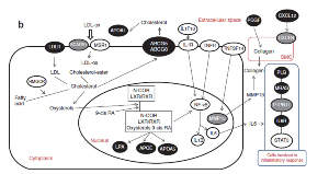 Schematic showing CAD risk genes involved in lipid metabolism and inflammation pathways