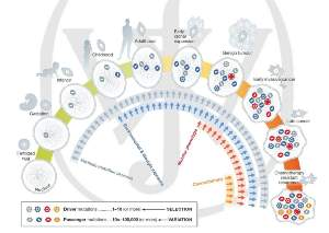 Accumulation of mutations in a lifetime from fertilised egg to malignant cancer cell.