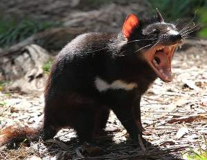 The Tasmanian devil is at risk of extinction in the wild due to a transmissible facial cancer. Next generation sequencing could guide conservation efforts by tracing the spread of the disease.