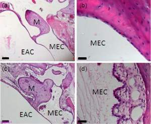 (a) and (b) show the middle ear of an unaffected animal. (c) and (d) show an affected animal with a normal external auditory canal, but a build up of fluid within the middle ear cavity and a thickened mucosa, with fibroblasts, granulocytes and granulation tissue.
