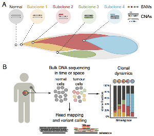 Reconstruction of clonal heterogeneity. (A) Schematic view of...
