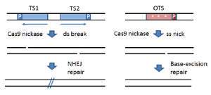 Mutations induced in mice by Cas9-nickases. Strategy for introducing a double strand break with Cas9 nickase using paired guide RNAs to adjacent target sites on opposite DNA strands. Single-stranded nicks on opposing strands creates a double stranded break and subsequent mutation of the target locus