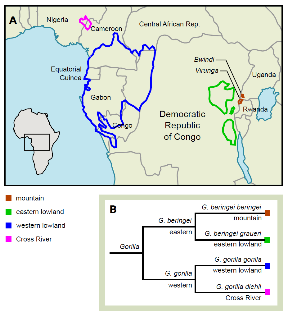 Mountain gorillas enter the genomic age | Sanger Institute