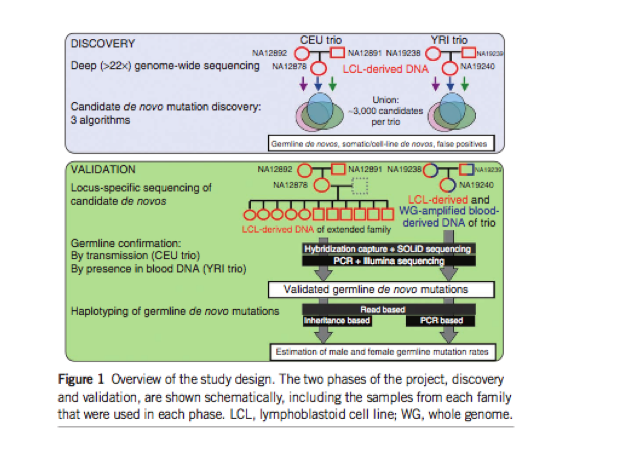 """Extensive and careful discovery, validation, and haplotyping of <em>de novo</em> mutations in two trios allowed us to report the germline mutation rate. From """"Variation in genome-wide mutation rates within and between human families."""""""