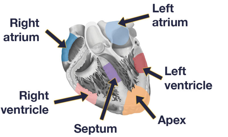 Sections of the heart studied