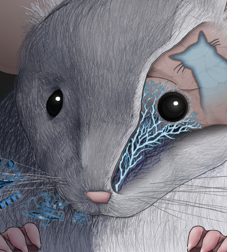 Part of the cover image from our paper published in <em>Cell</em>, illustrating how naive mice innately avoid a protein produced in cat saliva, after they detect it by smell.