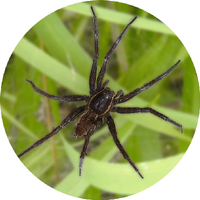Fen Raft Spider (Dolomedes plantarius), one of the 25 species whose genome is being sequenced by the Sanger Institute for its 25 Genomes for 25 Years Project
