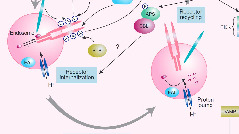 Insulin receptor containing endosomes recycling