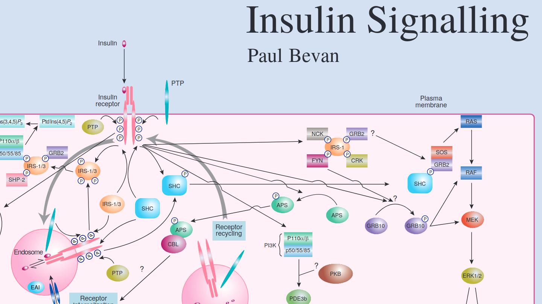 Insulin Signalling pathway schematic
