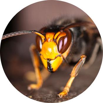 Yellow-legged Asian Hornet