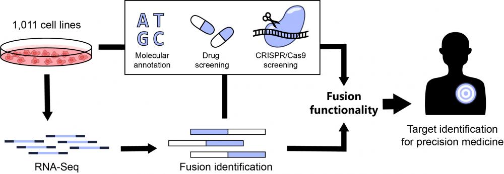 My PhD involved the identification of gene fusions in 1,011 genetically characterised human cancer cell lines. I then utilise existing drug screening and CRISPR-Cas9 data to identify those gene fusions with a functional role in cancer.