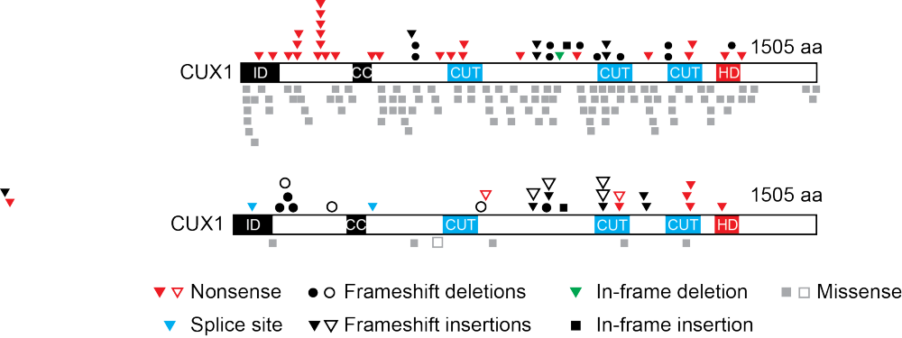 Predicted consequences of <em>CUX1</em> mutations identified from the analysis of 7,651 human cancer genomes (top) and myeloid malignancies (bottom) are depicted across the CUX1p200 1505 amino acid (aa) isoform (NCBI, NP_853530). CUX1 protein domains are highlighted: ID, inhibitory domain; CC, coiled-coil; CUT, CUT DNA-binding; HD, homeodomain. Mutation type is indicated. In bottom panel, MDS-associated mutations are indicated by solid symbols and AML-associated mutations by outlined symbols.