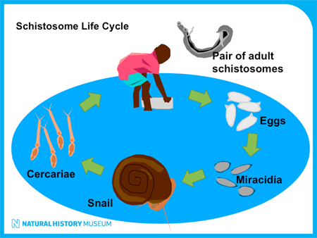 Schistosome's life cycle is complex. It involves a snail and a vertebrate (e.g. human) host. At the Berriman group, we have established the <em>Schistosoma mansoni</em> life cycle, which is prooving a valuable resource for ours and other groups in our Institute.