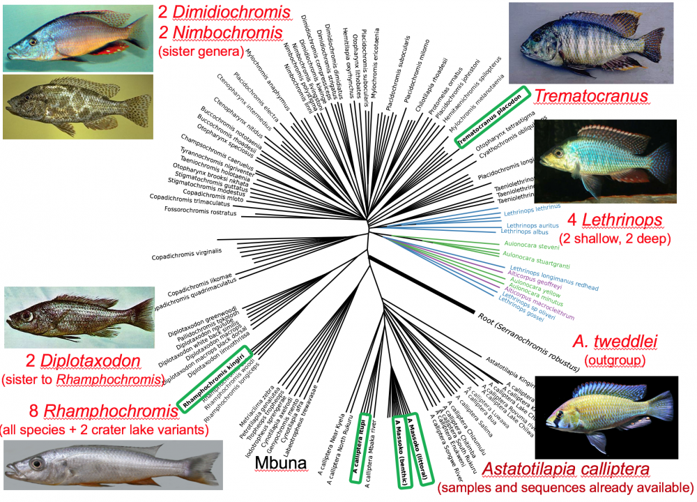 Whole genome sequence phylogeny of over 50 Lake Malawi cichlid species that we have sequenced, with illustrations of focal species for which we are collecting population samples. Speciation is very recent or even ongoing, with divergence between species of 0.1% to 0.3% compared to diversity within species of 0.05% to 0.1%.