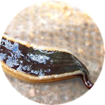 New Zealand Flatworm