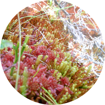Carrington's Featherwort