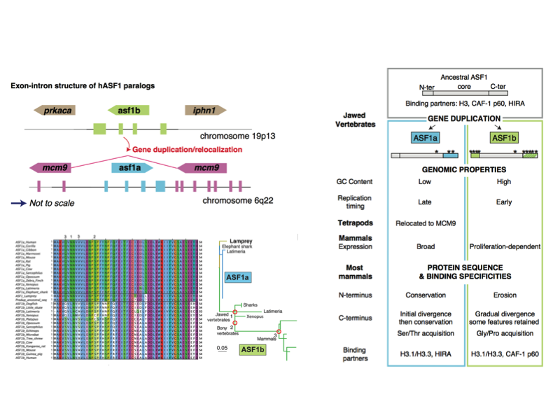 Genes within genes... The subfunctionalization experienced by histone chaperones ASF1a and ASF1b in vertebrates has been influenced by genomic context and has been driven by adaptive evolution. Interestingly, ASF1a relocated into another gene (MCM9) in the ancestor of tetrapods. This relocation possibly had an additional adaptive value as both genes show opposite cell-cycle regulation programs, matching the subfunctionalization of ASF1a.