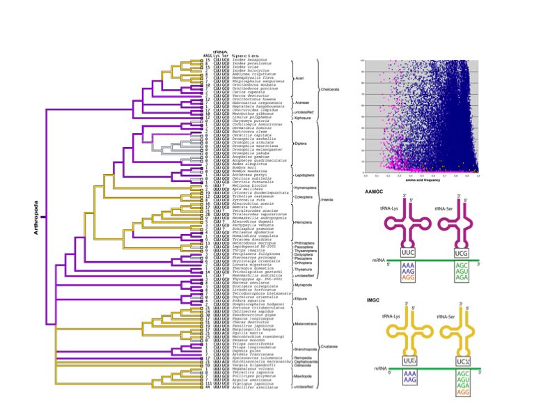 We found that the mitochondrial genome of some arthropods is translated according to an alternative genetic code in which the AGG codon is translated as Lys. Interestingly, this new genetic code evolved in parallel in different arthropod lineages, in a complex interplay between GC content, number of AGG codon instances and specific mutations at tRNA anticodons.