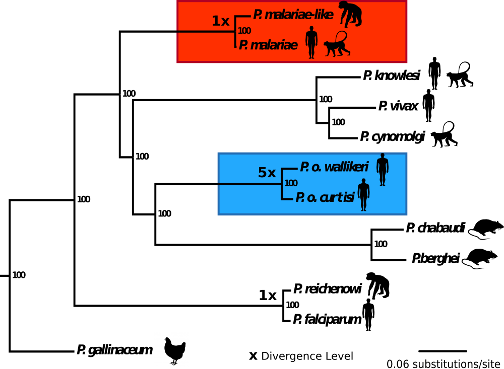 As part of his PhD project, Gavin assembled genome sequences for four malaria parasite species for which no genome sequences were previously available (species in blue and red boxes). Using phylogenetic methods, it was possible to show that two species which were previously thought to potentially only be one species (P. ovale wallikeri and P. ovale curtisi) are in fact very different on a genetic level and are likely to have split millions of years ago.