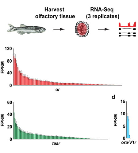 Our 2014 paper, in collaboration with the Marioni group, used RNA sequencing to estimate the representation of hundreds of different neuron types in the zebrafish nose.